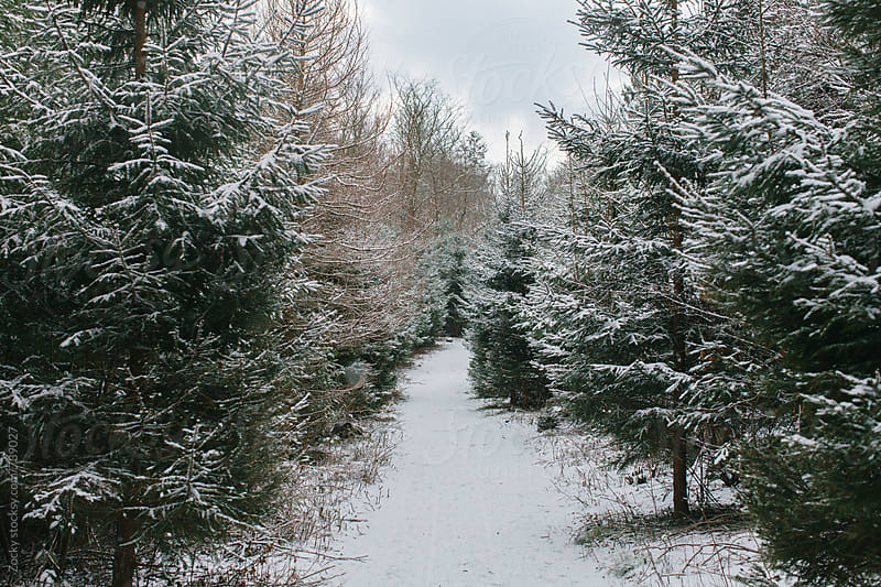 Snowly pine trees  by Zocky for Stocksy United
