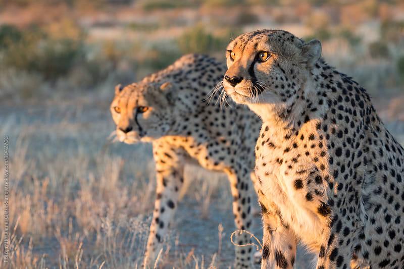 Cheetahs (Acinonyx jubatus) side by side observing by Fotografie Daniel Osterkamp for Stocksy United