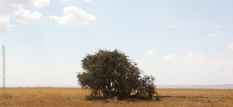 lions hiding in the shade by Nat sumanatemeya for Stocksy United