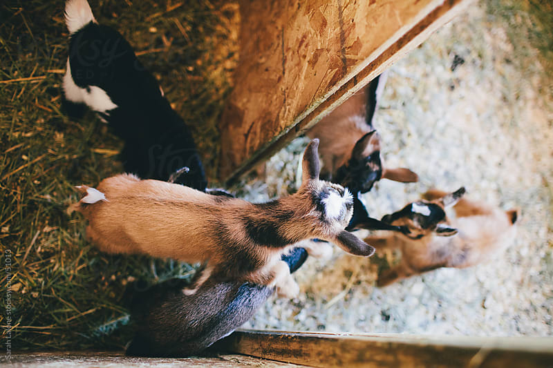 Baby nigerian dwarf goats in a pen. by Sarah Lalone for Stocksy United