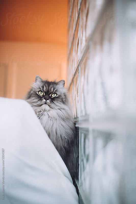 flufffy cat portrait by Thais Ramos Varela for Stocksy United