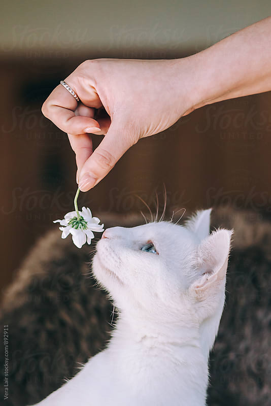Curious white cat playing with a daisy by Vera Lair for Stocksy United