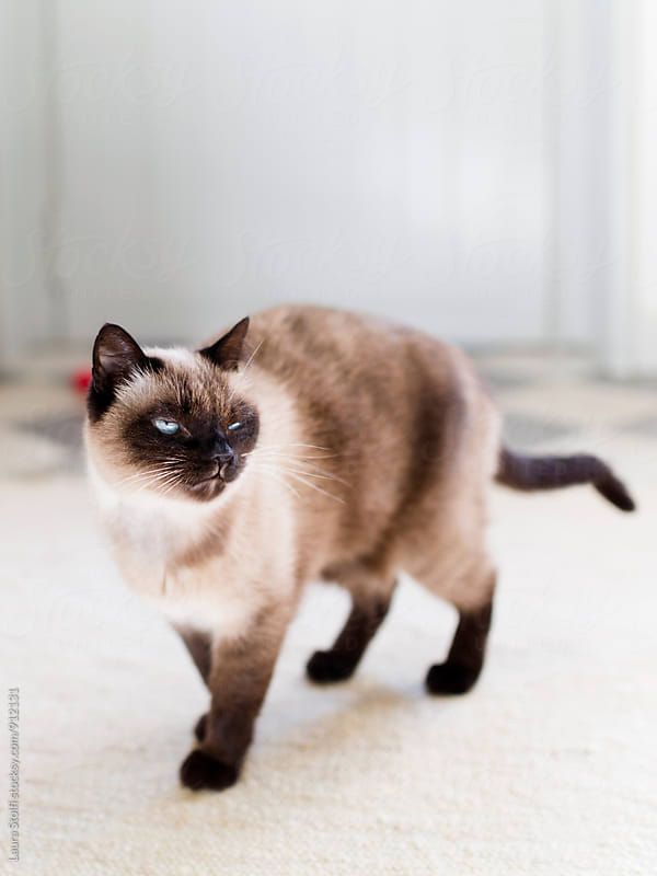 Siamese cat stands on carpet in sunny room by Laura Stolfi for Stocksy United