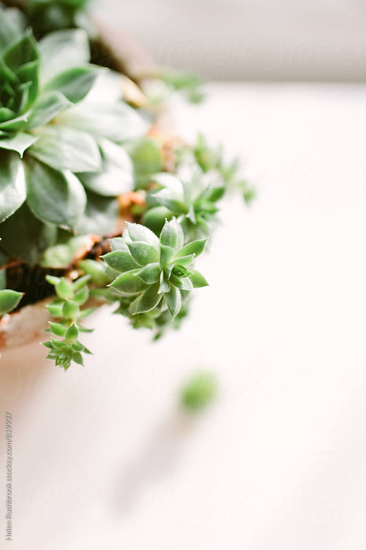 A succulent plant  by Helen Rushbrook for Stocksy United
