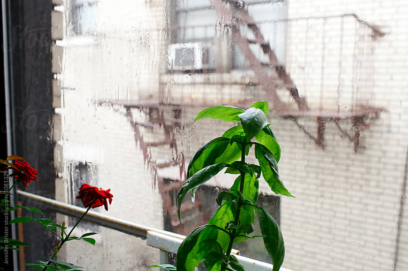 Basil growing indoors while it rains outside