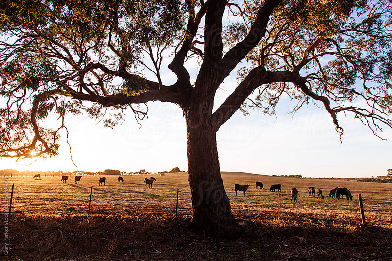 A big Australian gum tree in a paddock full of cows by Gary Parker for Stocksy United