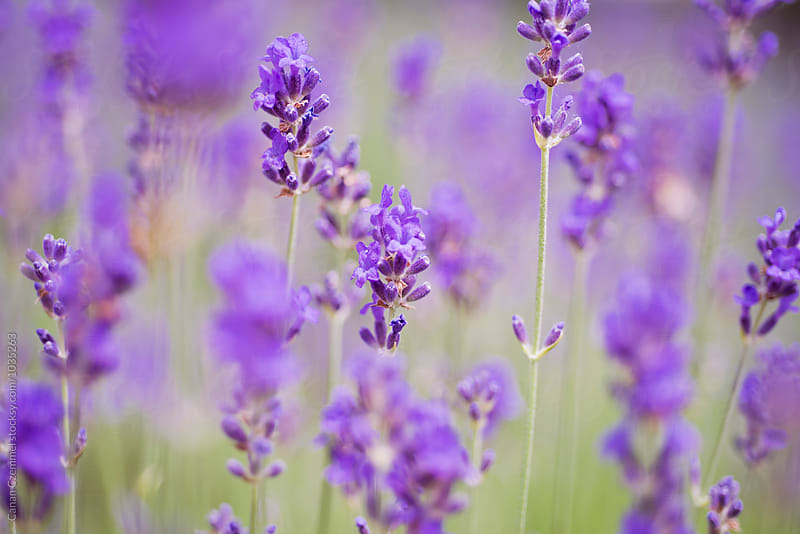 lavender flowers by Canan Czemmel for Stocksy United