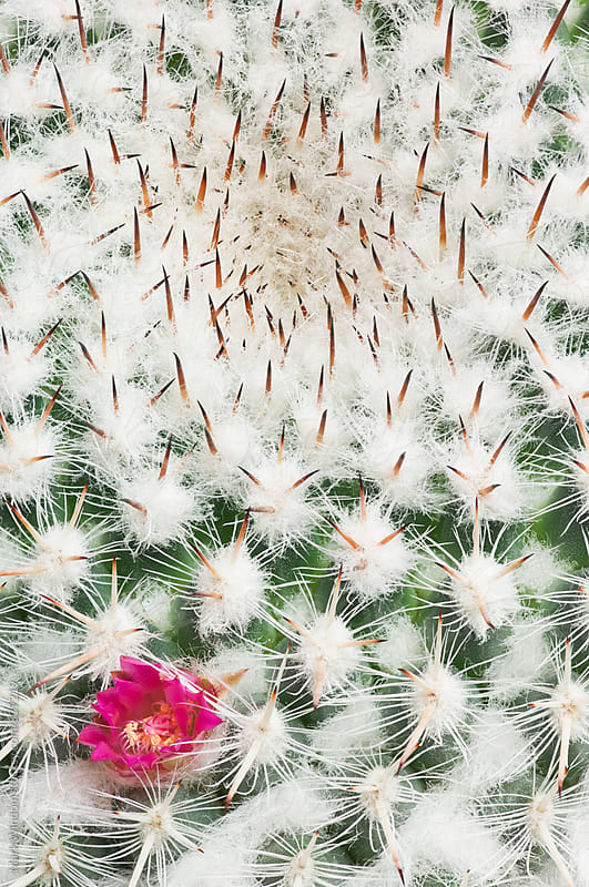 Flowering Cactus, closeup by Mark Windom for Stocksy United