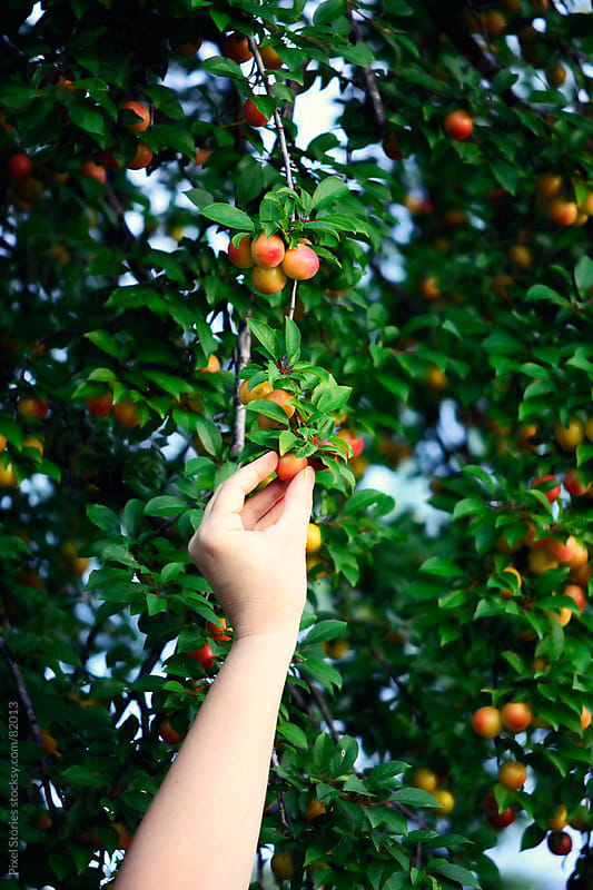 Hands picking plums by Pixel Stories for Stocksy United