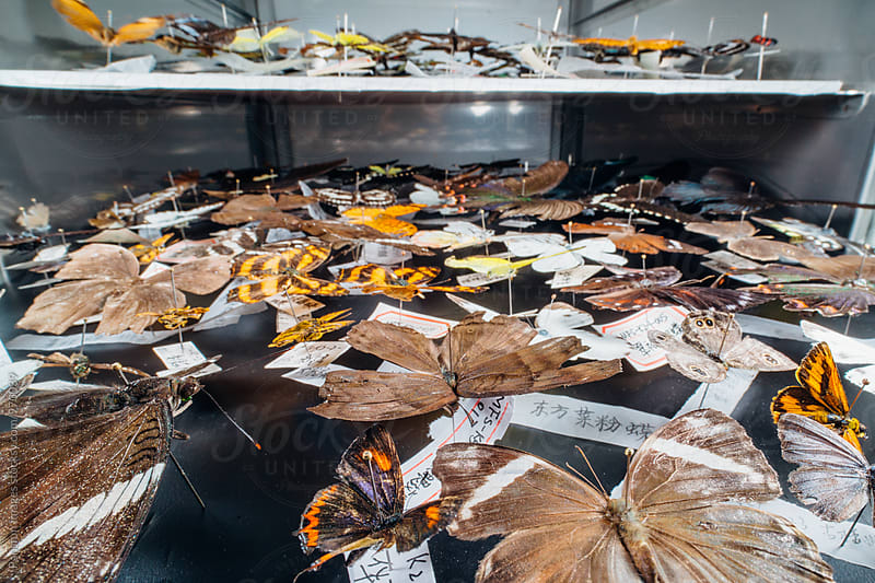 butterfly specimen collection.  by Xunbin Pan for Stocksy United