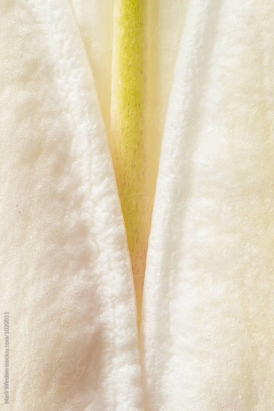 Lily bud petals, closeup by Mark Windom for Stocksy United
