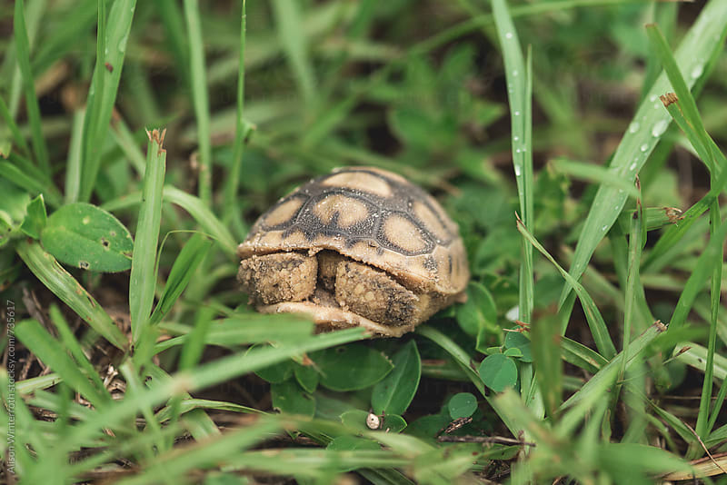 A Gopher Tortoise Hiding In His Shell by Alison Winterroth for Stocksy United
