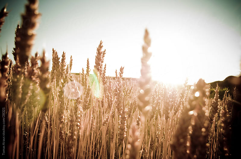 field of grain by Tomas Kraus for Stocksy United