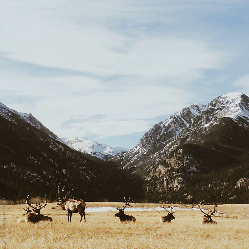 Elk in Colorado by Ben Sasso for Stocksy United