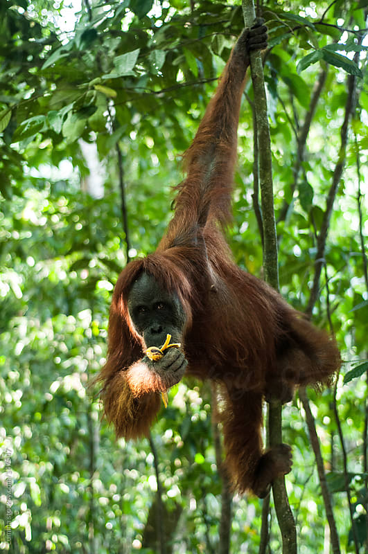 Orangutan Eating in a Tree by Lumina for Stocksy United