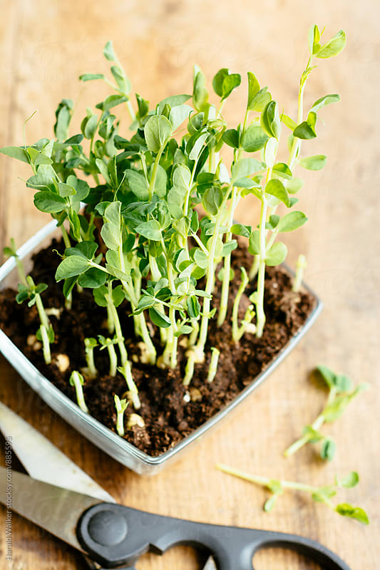 Fresh Pea Sprouts by Harald Walker for Stocksy United