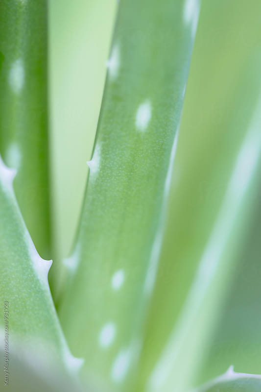 Macro of green succulent aloe plant by Kerry Murphy for Stocksy United
