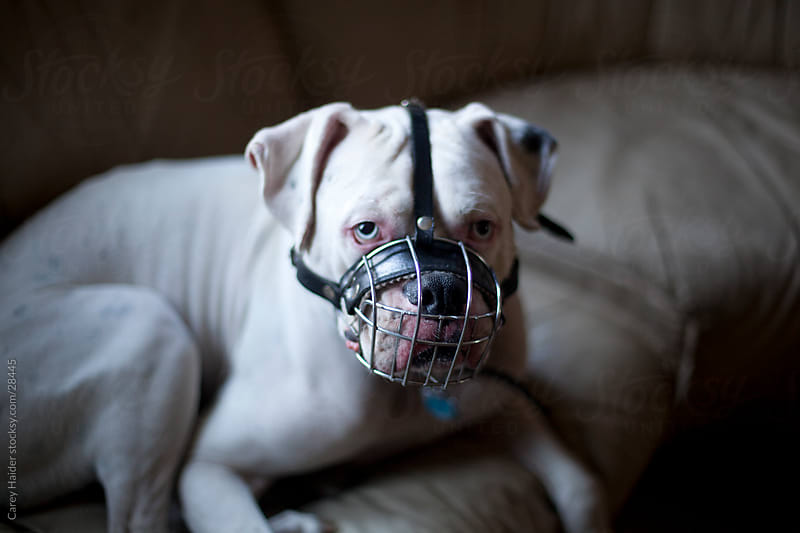 Pitbull Dog With A Muzzle by Carey Haider for Stocksy United