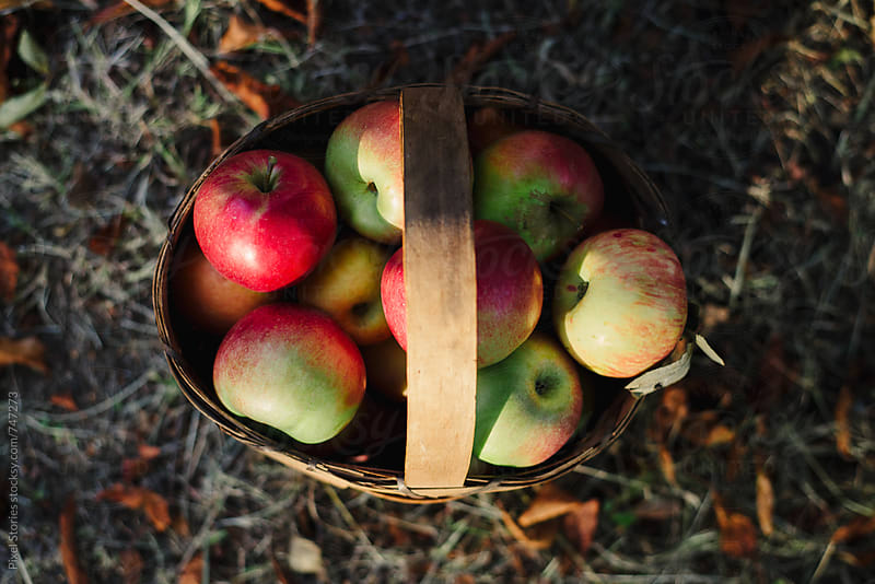 Basket full of just picked apples by Pixel Stories for Stocksy United