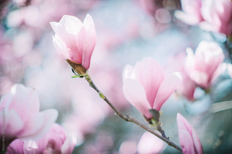Closeup of blossoming magnolia in spring by Peter Wey for Stocksy United
