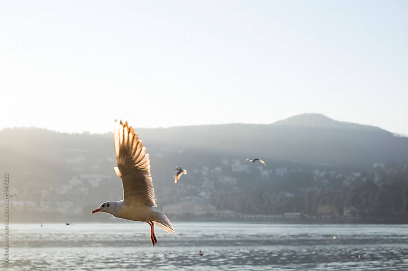 Seagull flying over the lake at sunset by michela ravasio for Stocksy United