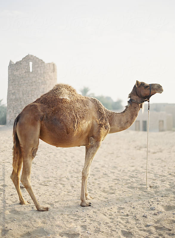 Dubai Desert Camel by Vicki Grafton Photography for Stocksy United