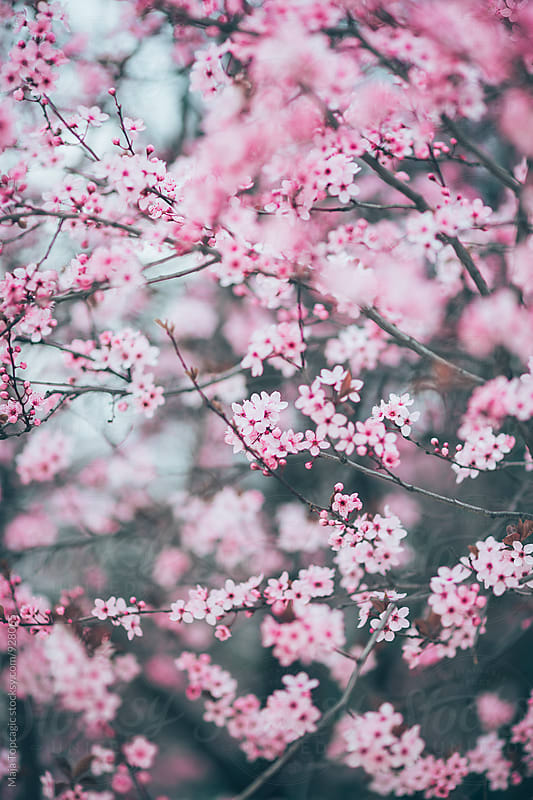 Pink blossom tree by Maja Topcagic for Stocksy United