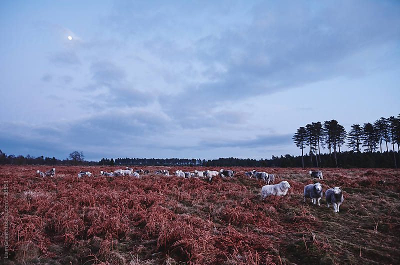 Moonlight over Herdwick sheep among a field of bracken. Norfolk, UK. by Liam Grant for Stocksy United