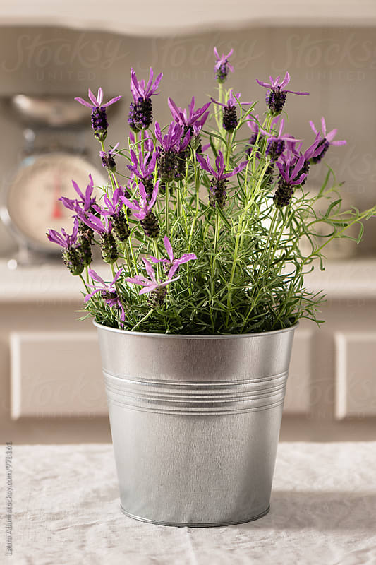 Lavender in a metal pot by Laura Adani for Stocksy United