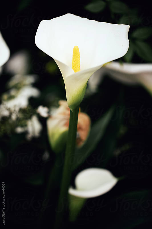 White calla lilies amongst dark green leaves by Laura Stolfi for Stocksy United