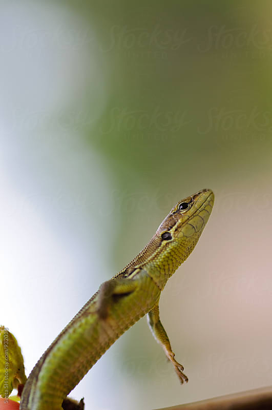 Little green lizard by Svetlana Shchemeleva for Stocksy United