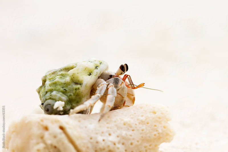 Hermit crab by Ruth Black for Stocksy United