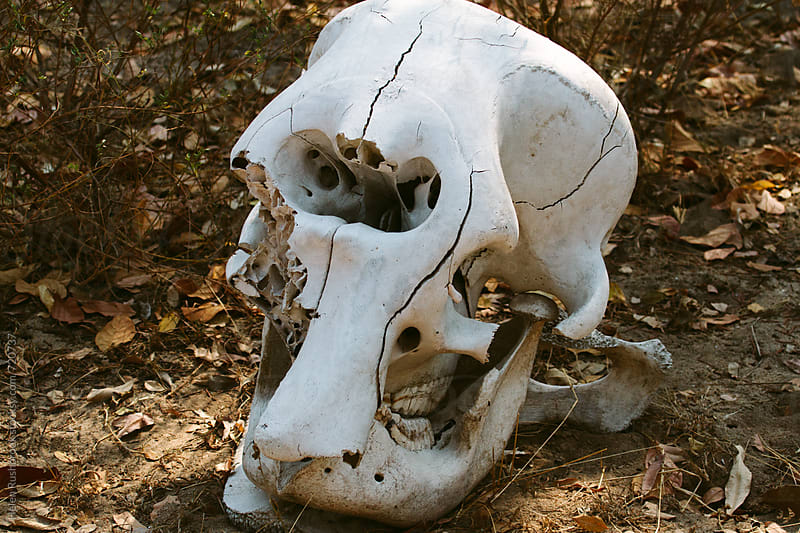 Elephant skull by Helen Rushbrook for Stocksy United