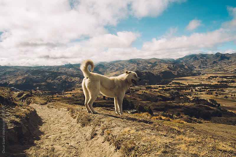 Majestic Dog Gazing off into the Mountains by Oscar Lopez for Stocksy United
