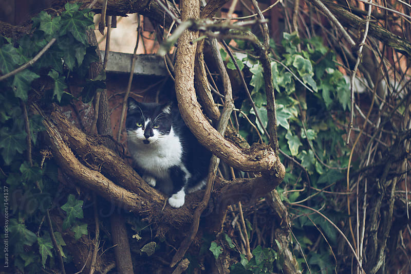 Cat on branch looks straight at the camera by Laura Stolfi for Stocksy United