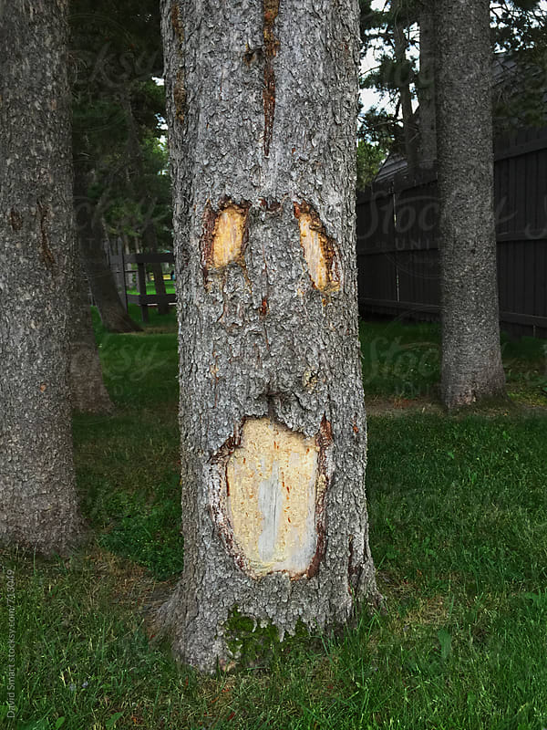 Abstract spooky face on a tree by David Smart for Stocksy United