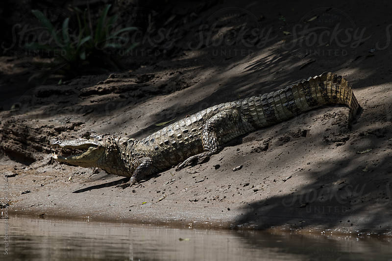 Spectacled Caiman opening mouth by Song Heming for Stocksy United