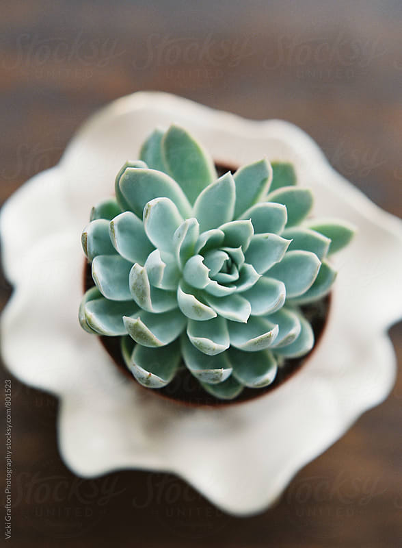 Succulents on dish  by Vicki Grafton Photography for Stocksy United