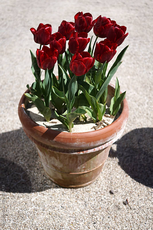 Pot with red tulips