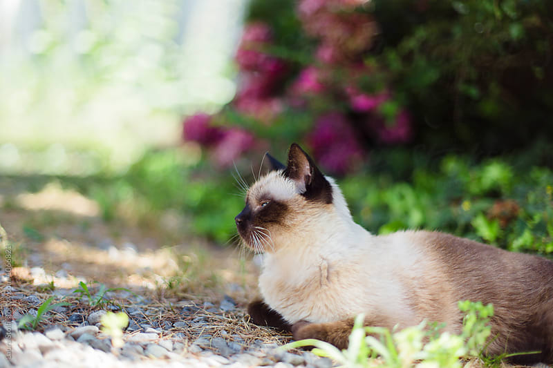 Cat takes a nap in shady corner in garden, a close up by Laura Stolfi for Stocksy United