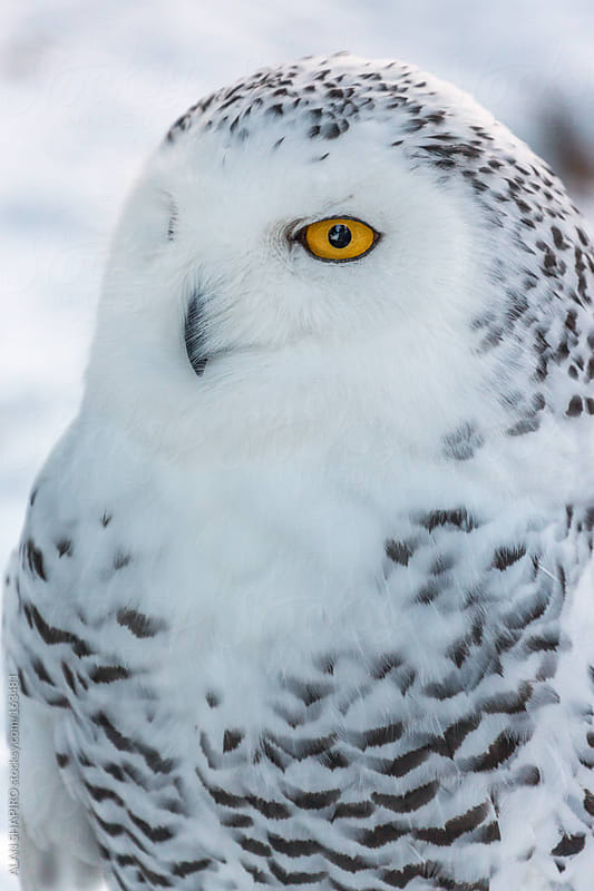 Snowy Owl in profile by ALAN SHAPIRO for Stocksy United