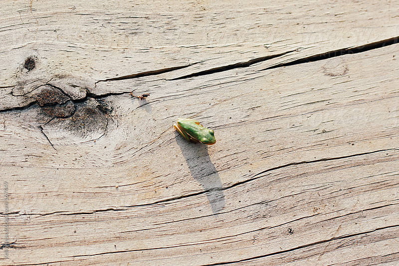 tiny frog on a boardwalk by Kelly Knox for Stocksy United