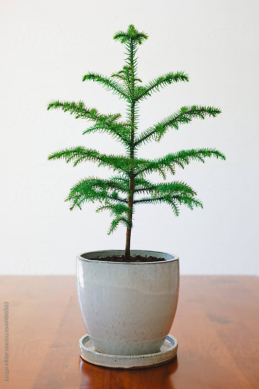 Small Norfolk Island Pine tree in a pot, on a dining table, not yet dressed for Christmas by Jacqui Miller for Stocksy United