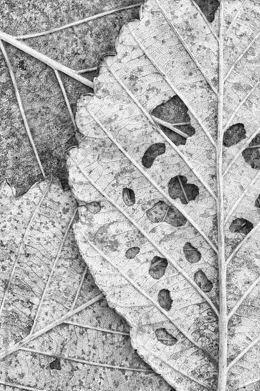 Decaying leaves in black and white by Mark Windom for Stocksy United