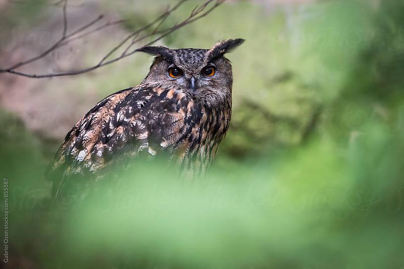 Eurasian eagle-owl (Bubo bubo) by Gabriel Ozon for Stocksy United