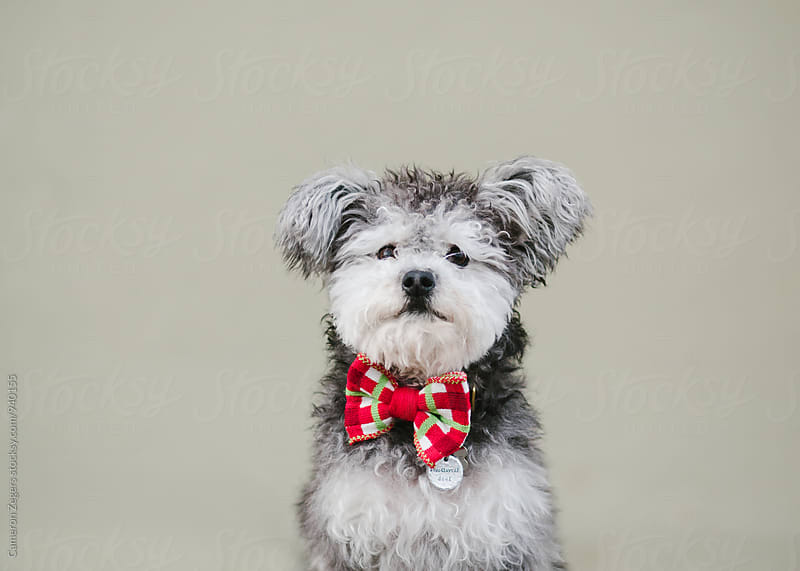 miniature terrier poodle dog wearing bow tie against plain wall by Cameron Zegers for Stocksy United