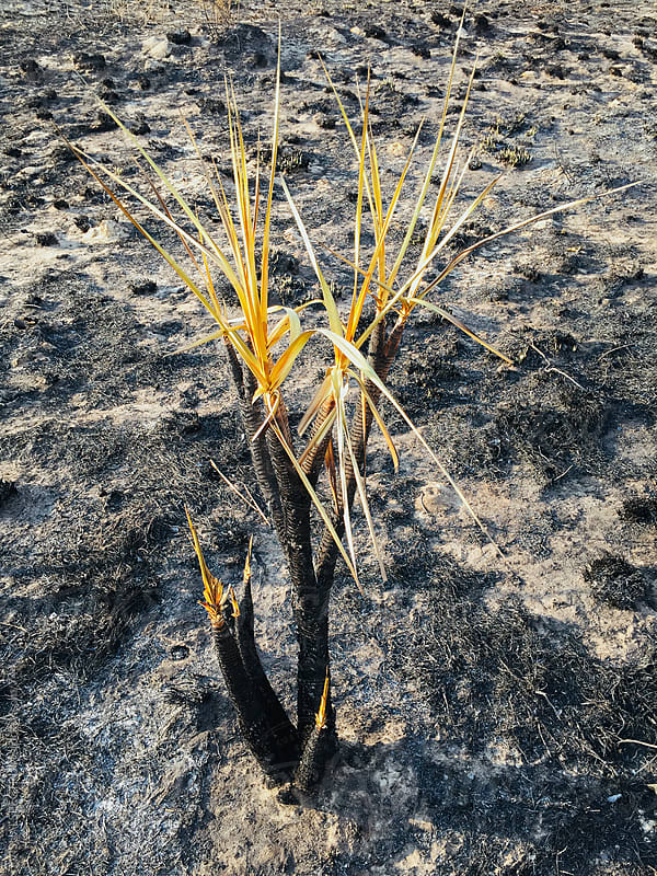 Plant Growing After Bushfire by Julien L. Balmer for Stocksy United