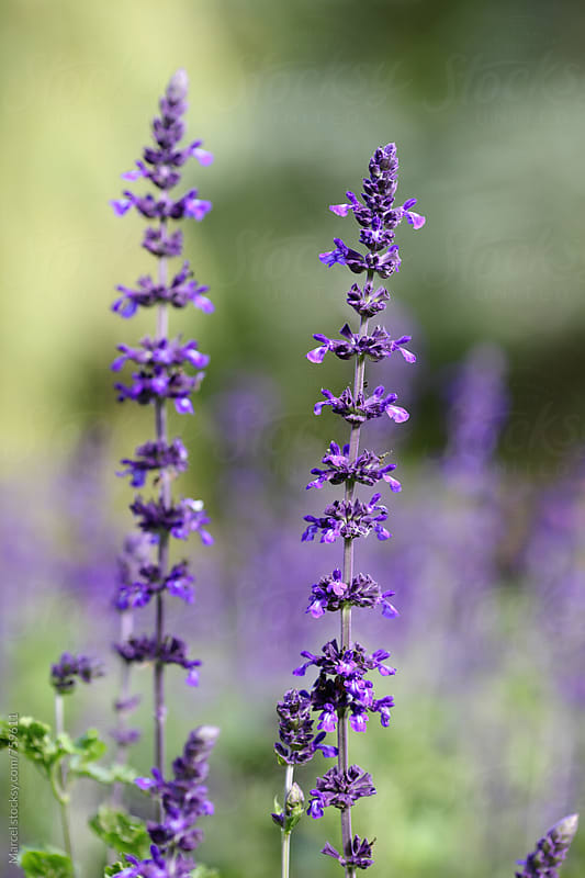 Purple salvia in the park by Marcel for Stocksy United