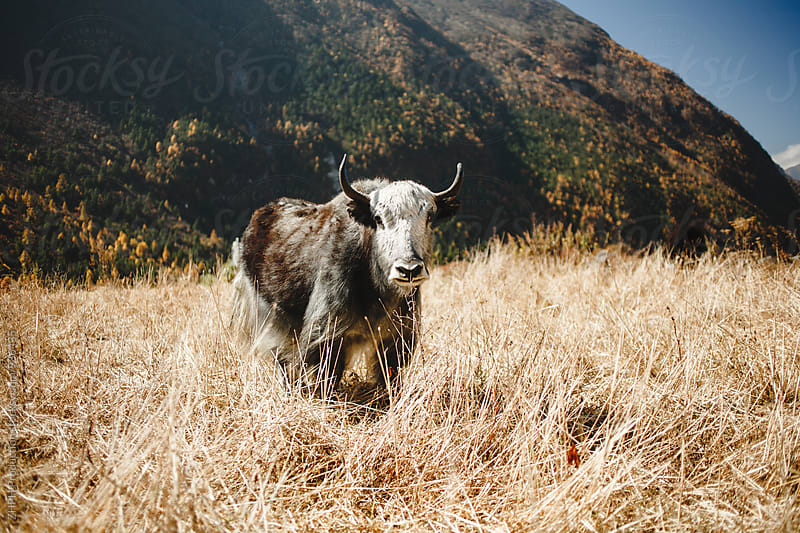 Yaks pastures by Artem Zhushman for Stocksy United