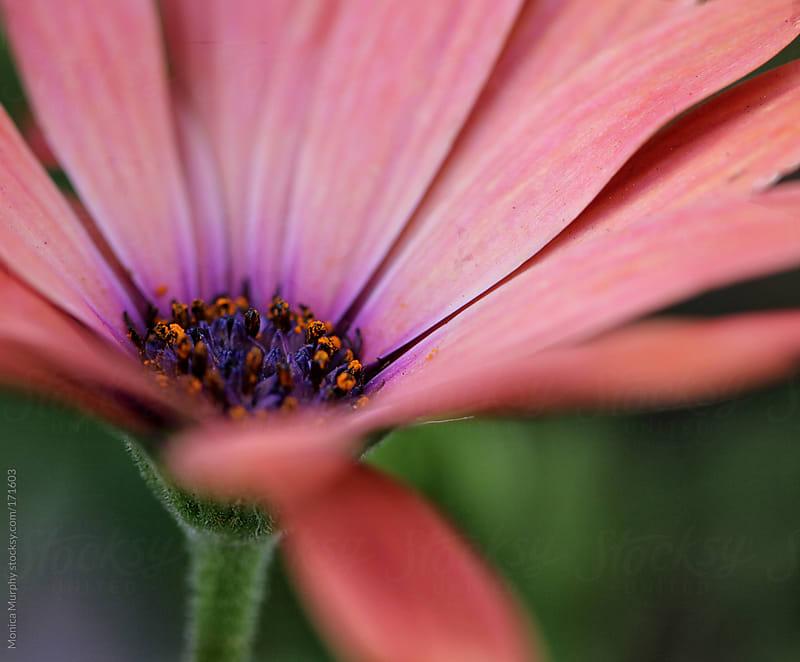 Macro shot of pink flower, focus on center of flower by Monica Murphy for Stocksy United